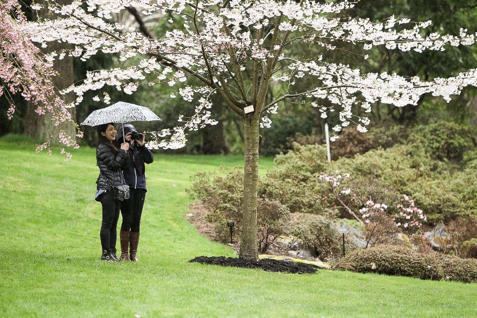Vancouver Cherry Blossom Festival 2015