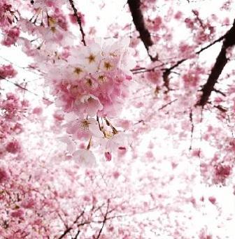 The Vancouver Cherry Blossom Festival