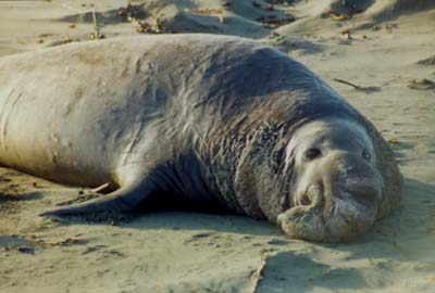 Elephant Seal on Ambleside Beach